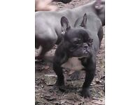 French bulldog puppies kc'd, just two left.