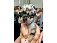 Stunning tiny Blue Merle Chihuahua smoothcoat boy