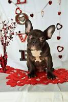 Stunning Triple Carrier  French Bulldog Chocolate males