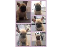French bulldogs quad carriers 💥