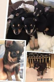 Chihuahua puppies 6 weeks old