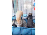Two beautiful, friendly rats Ł15