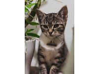Beautiful 12 week Tabby Kitten for Sale