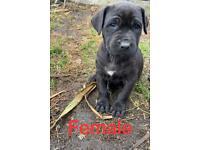Presa Canario Puppies !