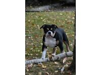OLDE ENGLISH BULLDOG female for sale(olde tyme) puppy