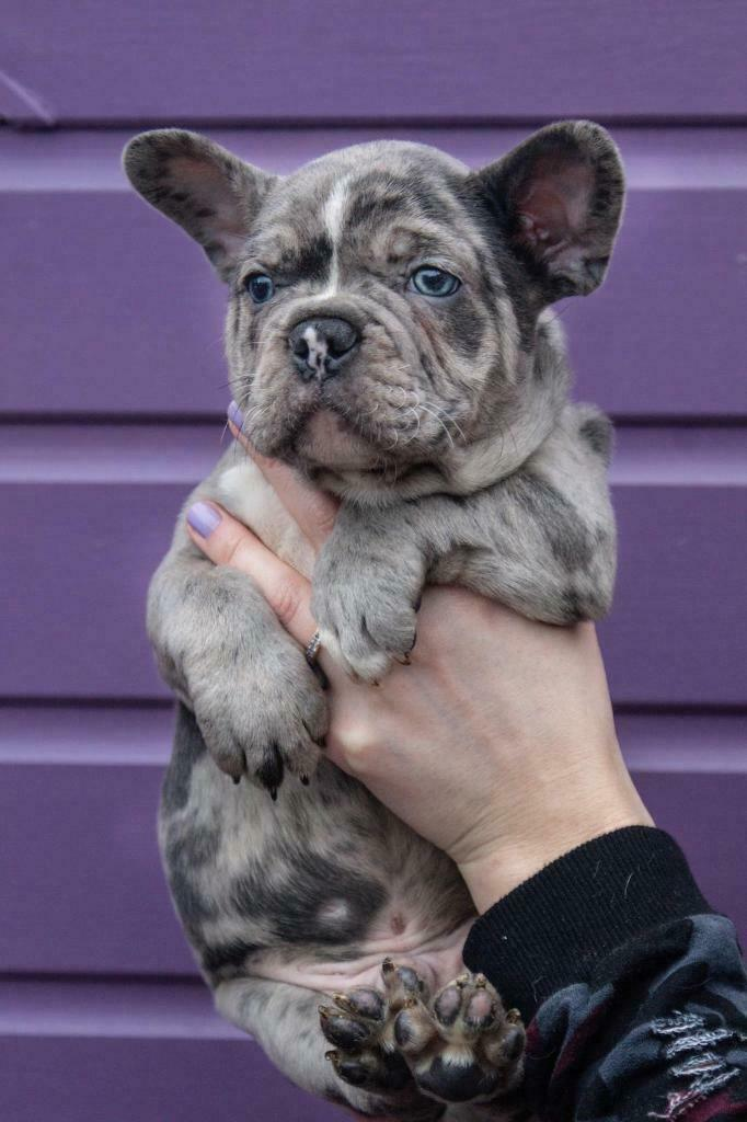 Stunning Merle french bulldog puppies for sale | in Great Barr, West  Midlands | Gumtree