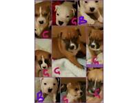 American bulldog/staffy pups