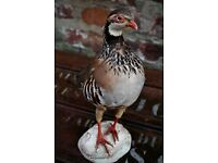 Antique Vintage Imported Taxidermy French Red Legged Partridge