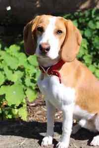 Lemon Beagle Dog for Adoption Clarkson Wanneroo Area Preview