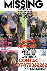 Missing miniature dachshunds
