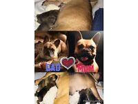KC French Bulldog pups