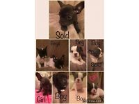 french bulldog puppy's ready now