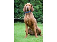 Hungarian Vizsla age:16 months Zsanett need to rehome.