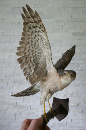 """Taxidermy Premium """"SPARROW HAWK"""" (Accipiter nisus) with PAPERS from 1970"""