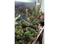 Huge bundle of cactus