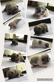 Stunning Blue Fawn/blue pied French Bulldog Puppies