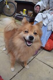 German Spitz Mittel for Rehoming