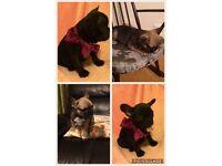 Last 2 of litter 1 boy 1 girl French bulldog pups kc registered