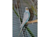 Beautiful young blue/grey budgie for sale with cage