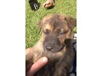 German Shepard cross ridgeback. Lovely pup male needs a loving home. He is 8 weeks tomorrow.