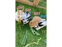 Rabbit ✨ mini lion-lops ✨