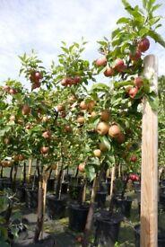 Mistletoe Apple Tree 20 Litre Pot (suitable for modern garden)