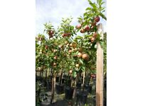 Mistletoe Apple Tree 20 Litre Pot (suitable for modern garden)