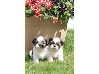 SHIH TZU PUPPIES FULLY HEALTH TESTED