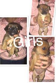 Jack Russell cross Pomeranian puppy's