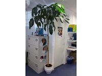 Very Large Houseplant - Free to Good Office (or home!) - Winchester City Centre