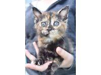 Female Kitten and Starter pack!