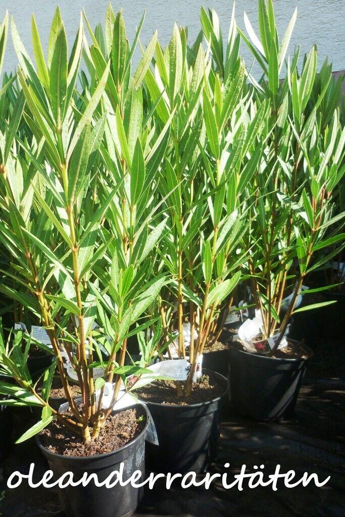oleander pflanze geant du batailles 70 80cm buschig 3l topf rot gef llt b ware eur 15 00. Black Bedroom Furniture Sets. Home Design Ideas