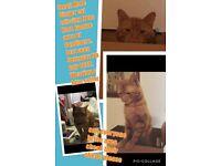 Missing Male Ginger Cat