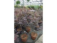 Japanese Maples ( Acer Palmatum Autopurpueum ) 4ft tree 50 pounds