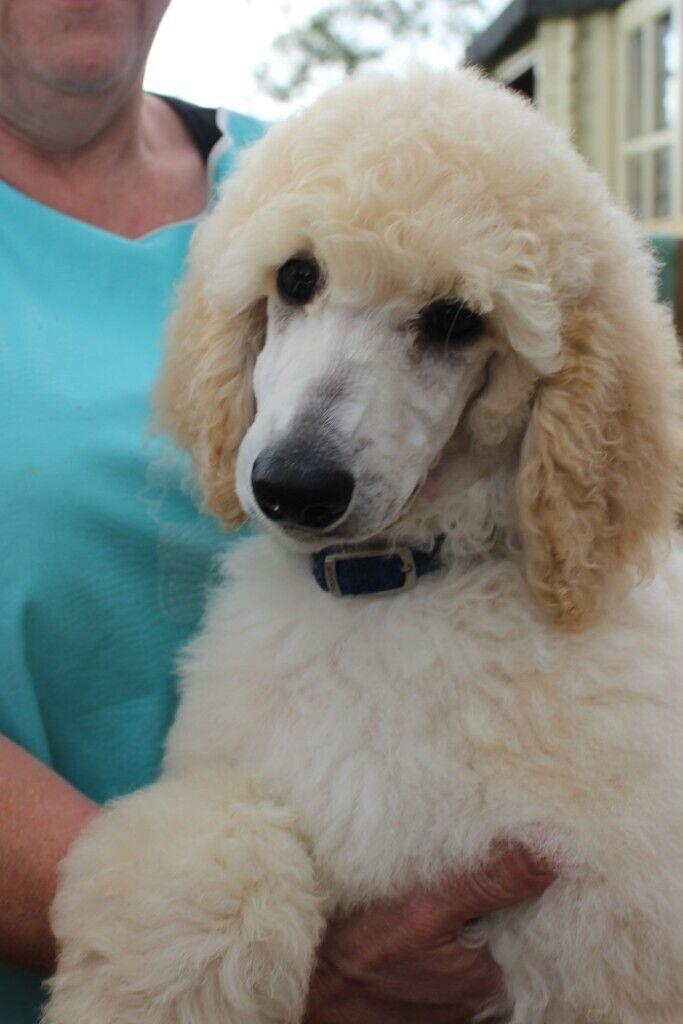 Standard Poodle Puppies for sale   in Market Drayton, Shropshire   Gumtree