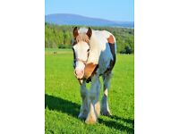 Coloured drum horse colt 16hh