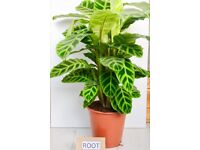 Calathea 'Zebrina' House plant 19cm pot 80 cm tall approx