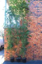 Slender Weavers Bamboo - 5m Tall & Bushy - Gracilis Warriewood Pittwater Area Preview
