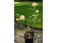 Miniature Rose Orange Colour for Garden