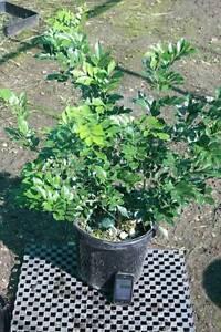 Murraya Paniculata 300mm pots Austral Liverpool Area Preview