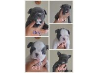 Stunning litter of full kc french bulldogs.