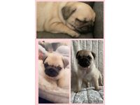 3 Beautiful Kc Registered Pugs