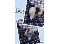 Three little Boy Rabbits for sale