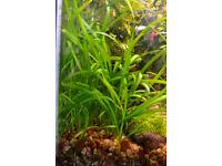 Fish tank - Plants for sale (Vallisneria spiralis - Straight Vallis)