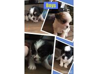Gorgeous Shih Tzu X Puppies!