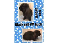Baby black self mini lops