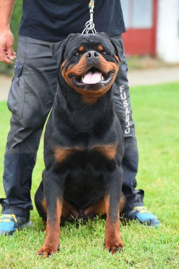 Female Rottweiler Puppies In South East London London Gumtree