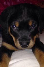 Rottweiler puppy girl 9 weeks old
