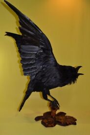 Raven real taxidermy