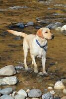 Purebreed Yellow Lab 1.5yrs old Fixed